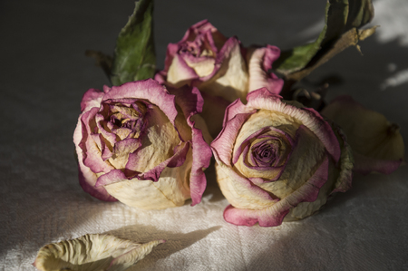 Dry creamy pink color roses with green leaves. Romantic still life. Herbarium. Bouquet Stock Photo