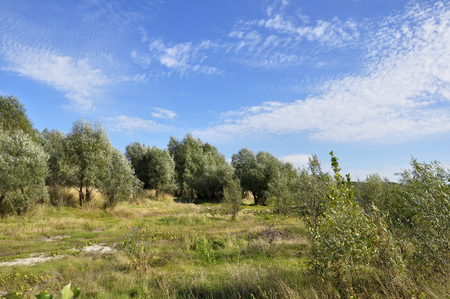 Landscape with green poplar trees and bright blue sky. Beautiful summer day