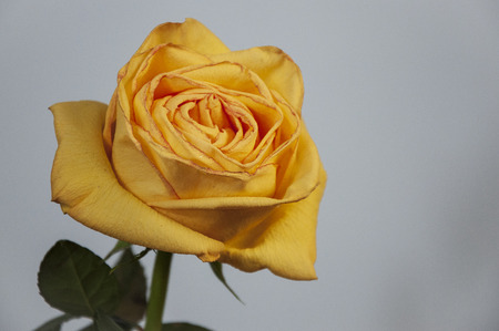 Yellow flower of roses are standing on the table. Green leaves and thorns. Light background
