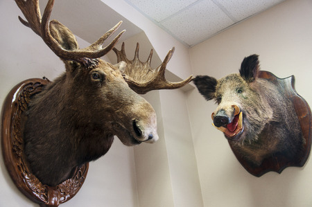 The scarecrow of moose in the office. Zoo museum. Forest animals exhibit