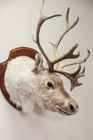 The scarecrow of the north deer in the office. Zoo museum. Forest animals exhibit