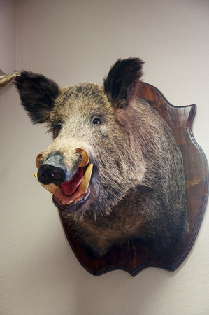 The scarecrow of the wild boar in the office. Zoo museum. Forest animals exhibit