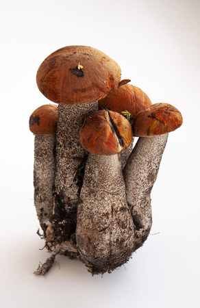 Five big orange-cap boletus mushrooms on the white background
