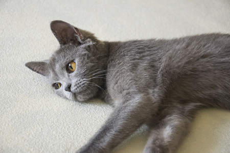 British Shorthair cat of gray color is looking