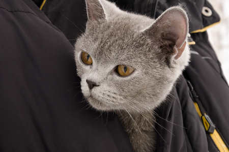 British Shorthair cat of gray color is looking Imagens