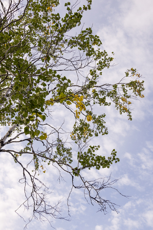 Branch of birch with green and yellow leaves on blue sky background. Early autumn Stock fotó