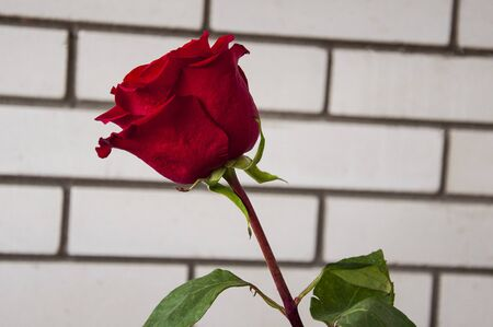 Lovely big flower of vinous red color. Green leaves and thorns. Still life. Light brick background
