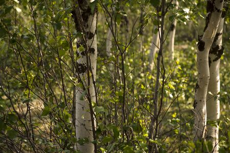 Green birch trees with black and white trunk in summer forest. Stock fotó