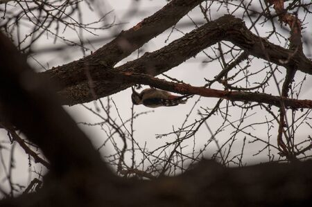 The woodpecker bird is sitting on the tree and knocking loud. Silhouette