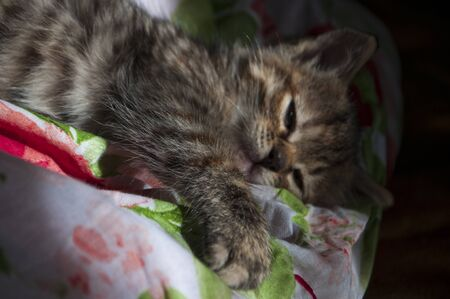 Beautiful tricolor kitten with blue eyes is sweetly laying on the gold bedcover and sleeping. Pet in the home