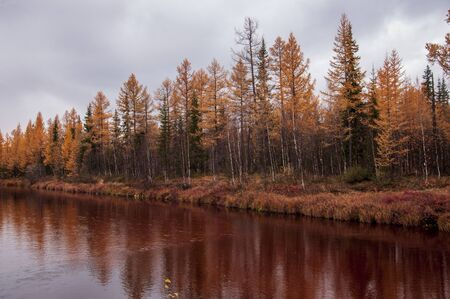 Brown river slow flowing across the brown and yellow forest with reflections of pines and trees in the water. Autumn on the north with dark blue sky above