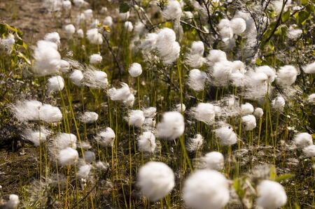 Cotton grass in the swamp on the green meadow. Marsh, bog, morass, fen, backwater, mire, slough ... Wild plants in summer north