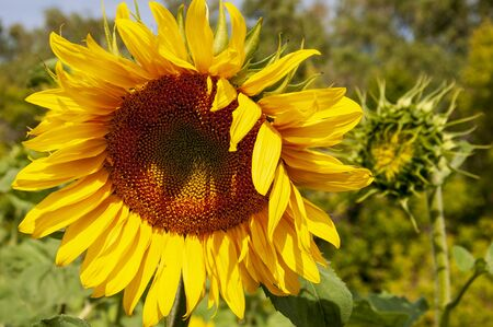 Sunflowers. There are many yellow sunflowers around. Meadow in the early autumn. Gold colors. Green forest and mountains far away. Calm blue heaven with no clouds above