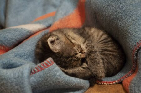 Beautiful tricolor kitten with blue eyes is sweetly laying on the blue bedcover and sleeping. Pet in the home Banque d'images
