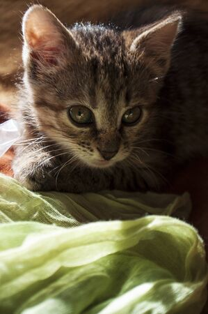 Beautiful tricolor kitten with blue eyes is sweetly laying on the gold bedcover and looking forward. Pet in the home