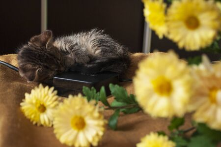 Beautiful tricolor kitten with blue eyes is sweetly laying on the gold bedcover and looking forward. Yellow flowers of chrysanthemum are around. Pet in the home