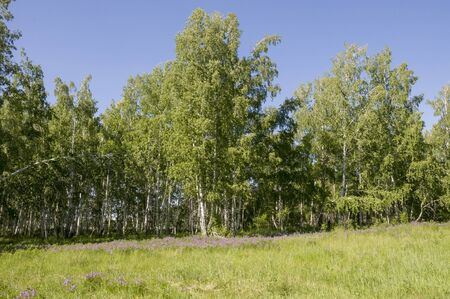 Birch grove and bright blue sky. Green trees in the summer forest. Travel on nature. Landscapes Stock fotó