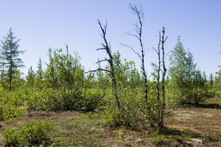Birch grove and bright blue sky. Green trees in the summer forest. Travel on nature. Landscapes north