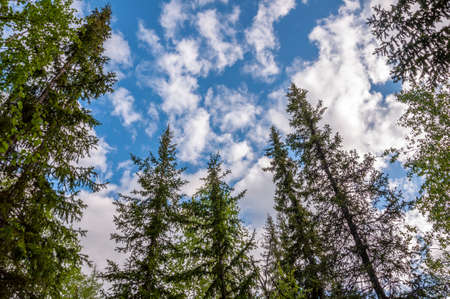 Green forest with pines, spruces, larches and birches on the background with blue sky. Bright summer day. Bottom view of tree crowns
