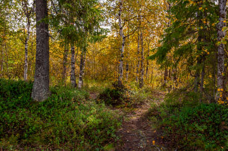Green forest with pines and trees and larch. Path through wood. Autumn on the north with blue sky above