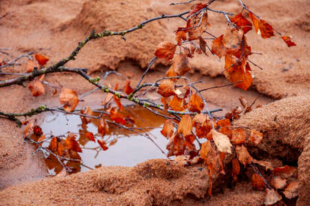 Twig of birch with dry brown leaves and its reflections in the water of puddle. Dark yellow sand on the banks. Autumn on the north, mainly cloudy