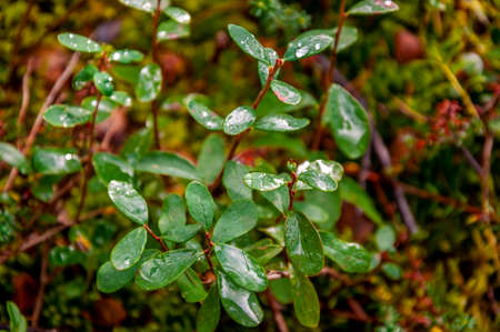 Green branch of tree with tiny leaves and dewdrops in summer forest. Wild plants