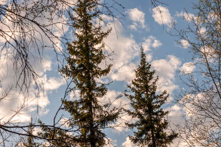 Spring forest with pines and spruces with short needles on the background with tender blue sky. Sunny day. Bottom view on the tree crowns