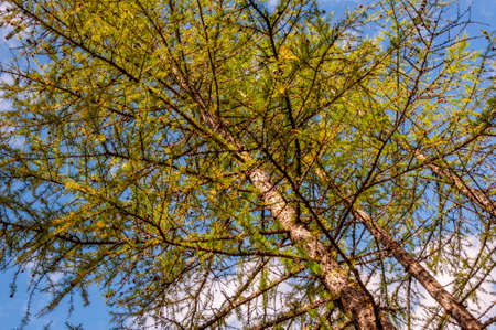 Branch of larch with green leaves on the background with blue sky. Season autumn 版權商用圖片