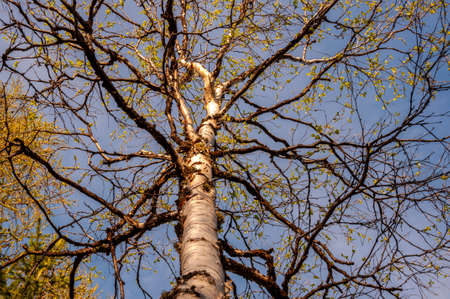 Branch of birch with light green leaves on the background with tender blue sky. Bottom view. Season early spring