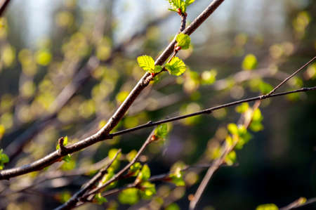 Branch of tree with light green little leaves on the tender blurred background. Bottom view. Season early spring