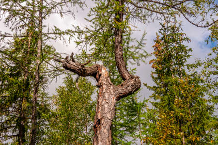 Old trunk of larch with tiny needles on the blue background of gray sky. Wild plants in the forest