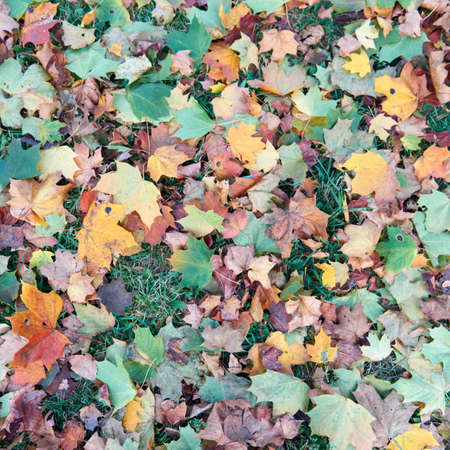 Colorful fallen autumn leaves on green grass field or lawn. Season, nature, autumn card, thanksgiving, fall background concept. Selective focus .. 免版税图像