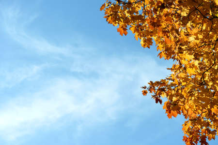 Colorful autumn leaves and branches against the blue sky and sun. Season, nature, autumn card, thanksgiving, fall background concept.Copy space, selective focus ..