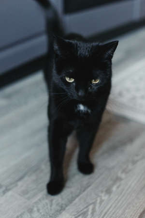 Cat in the house - a black cat on the floor with kitchen in the background. Cozy home and hygge trendy concept. Scandinavian style, hygge, autumn or winter weekend cozy concept.