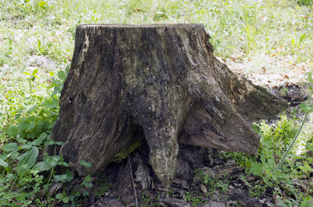 Tree stump. Covered, spring. Stock Photo