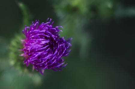 Flowers milk thistles. Flowers milk thistles. medicinal plant milky thistle