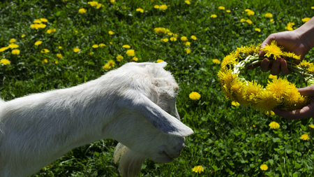 Crown for a goat of dandelions