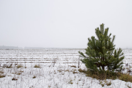 Pine in the field in winter.