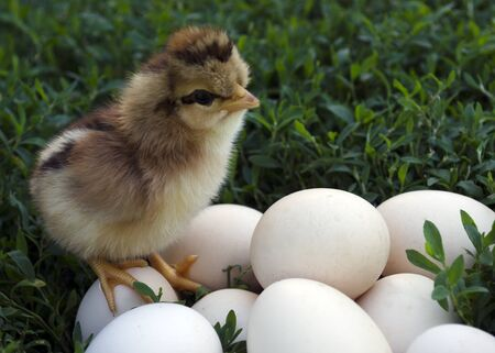 Chick on eggs. Easter chicken and eggs on green grass.  Nestling on nature stands on the eggs and looks at them Stok Fotoğraf