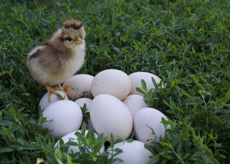 The first hatched chick sits on the eggs. Funny chick sits standing on the eggs and waiting