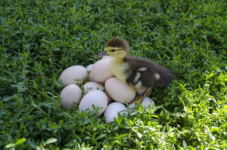 Duckling near the eggs on the lawn Stok Fotoğraf
