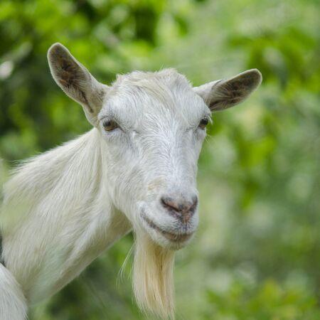 Retrato de una cabra. Un retrato de cabra en la pradera