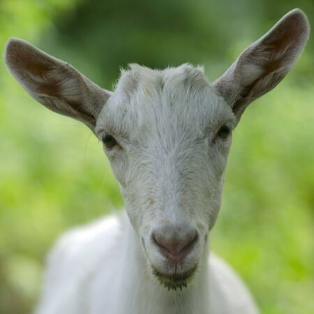 Portrait of a goat. A portrait of female goat on the meadow