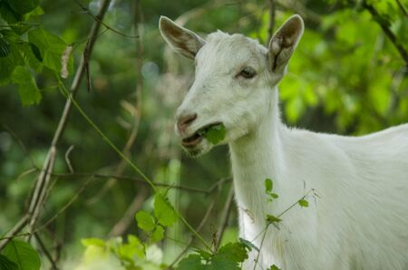 Goat in the forest eating grass. Goat portrait photography