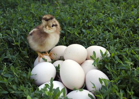 Nestling on nature stands on the eggs and looks at them
