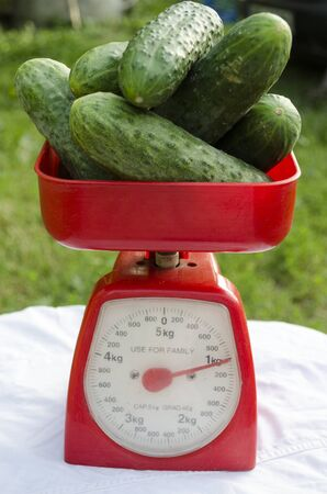 Cucumbers on red scales. Sales season. One kilogram of cucumbers