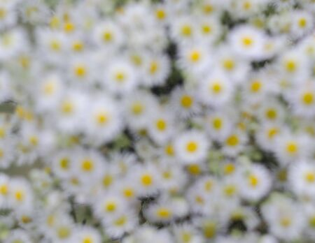Daisies field white daisy. Panoramic, head out of focus. Camomile background Stok Fotoğraf