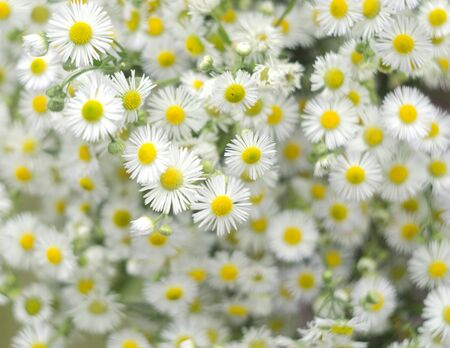 Chamomile flowers field background. Beautiful natural background with blooming daisies. Selective focus