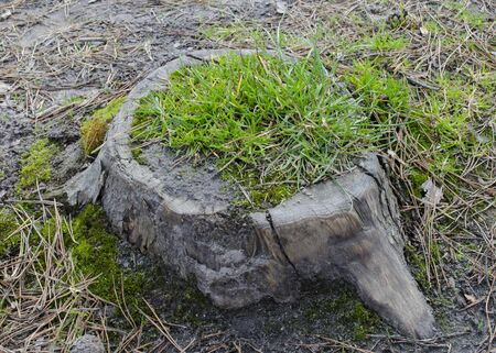 The stump of a sawn tree is restored. Stump overgrown with grass. The concept of the revival of nature.