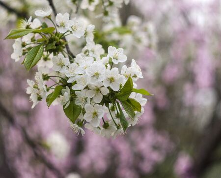 Blooming white cherry on a pink softly blurred background. Swirling, soft background Stok Fotoğraf